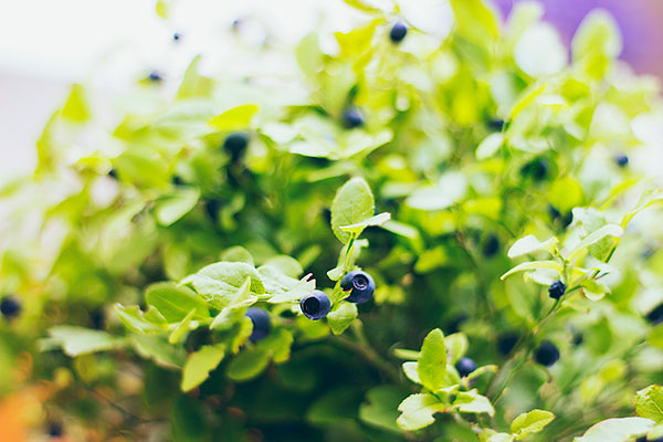 Blueberries OQM